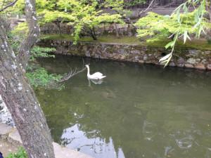 倉敷川 白鳥